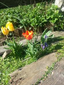 filippo biagioli tulipani giardino tribale serravalle pistoiese