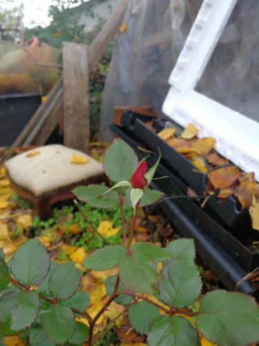 Bocciolo di rosa a dicembre